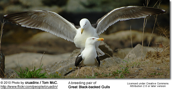A breeding pair of Great Black-backed Gulls (mating)