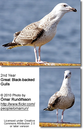 Greater Black backed Gull - Larus marinus