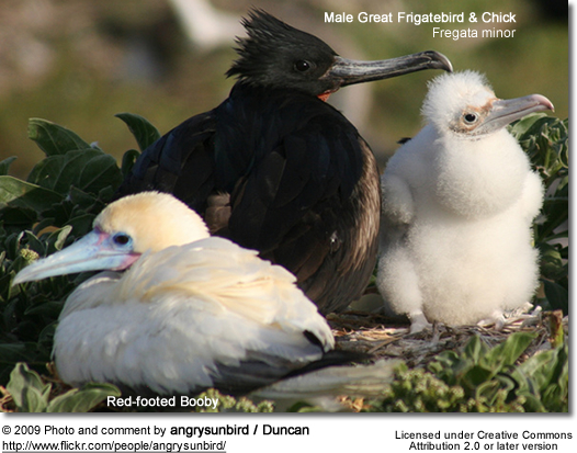 Male Great Frigatebird with chick and nesting Red-footed Booby in foreground.