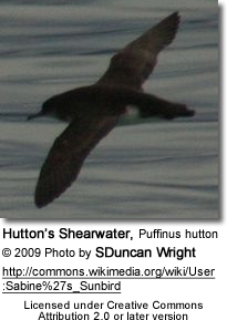 Hutton's Shearwater, Puffinus hutton