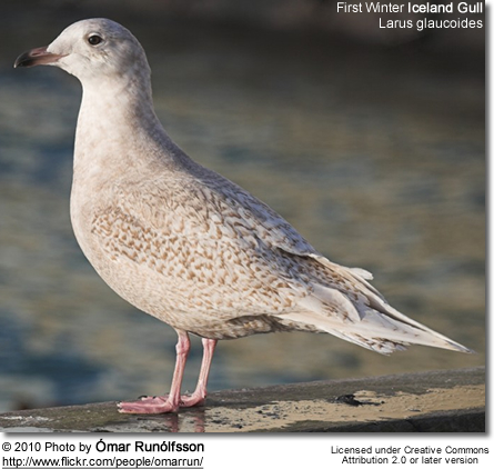 First Winter Iceland Gull - Larus glaucoides