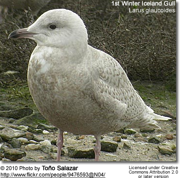 First Winter Iceland Gulls