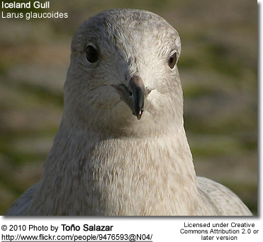 Iceland Gull, Larus glaucoides - head detail