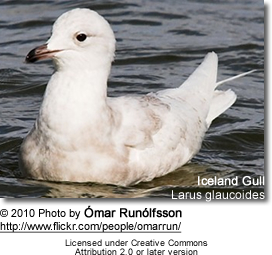 Iceland Gull, Larus glaucoides