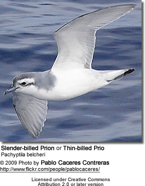 Slender-billed Prion or Thin-billed Prion, Pachyptila belcheri