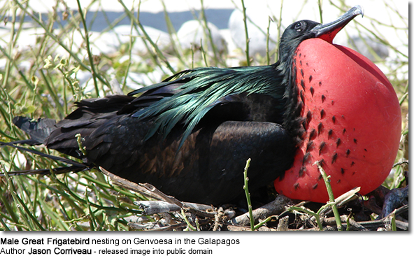 Male Great Frigatebird nesting on Genvoesa in the Galapagos