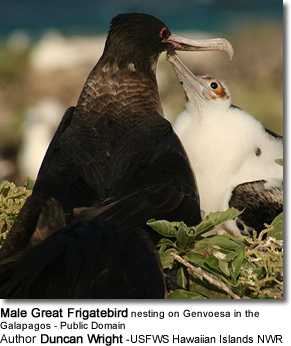 Male Great Frigatebird nesting on Genvoesa in the Galapagos - Public Domain