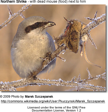 Northern Shrike with prey next to him