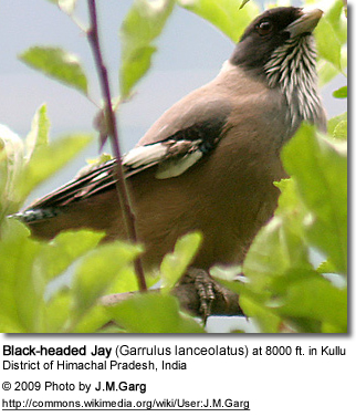Blackheaded Jay
