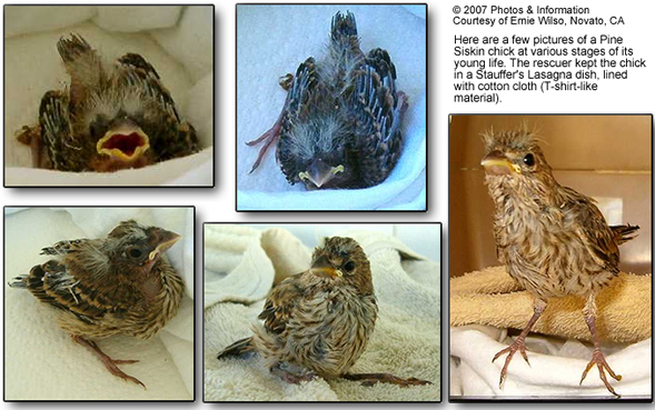 Handraising Orphaned Wild Bird Chicks