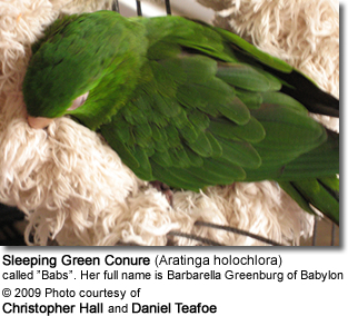 Sleeping Green Conure
