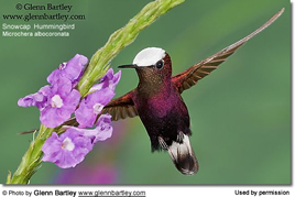 snow-cap hummingbird