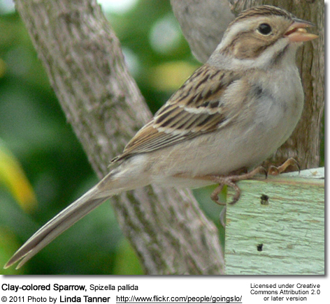 Clay-colored Sparrows