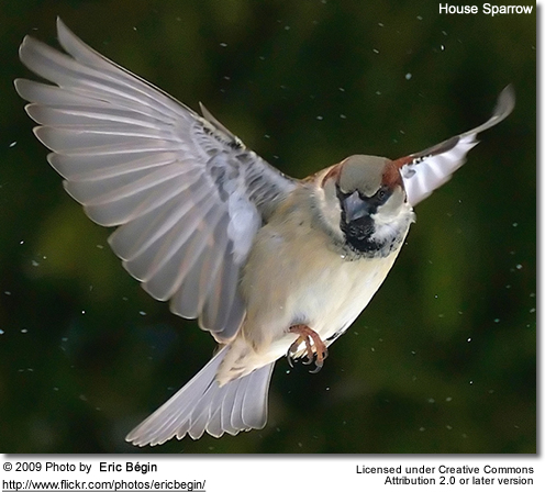 House Sparrow in flight