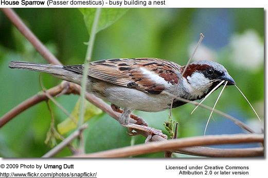 House Sparrow building a nest