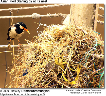 Asian Pied Starling at nest