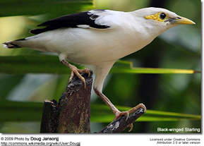 Black-winged Starling