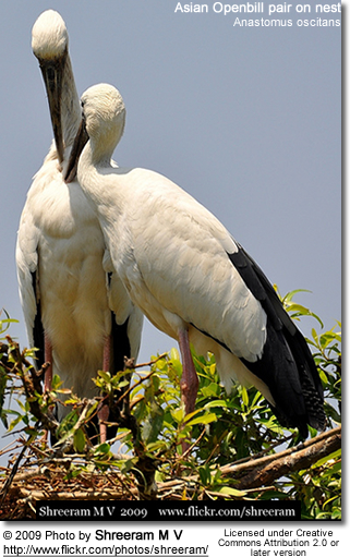 Asian Openbill pair on nest