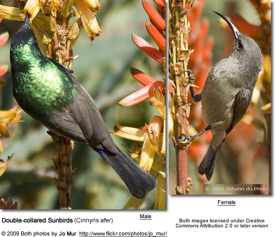 Double-collared Sunbird - male and female