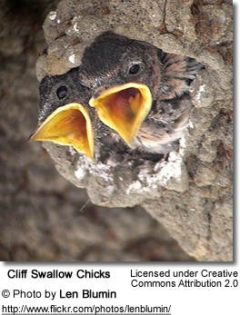 Cliff Swallow Chicks
