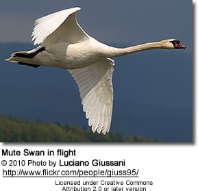 Mute Swan in flight - Cygnus atratus