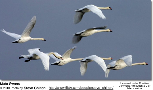 Mute Swans - Cygnus atratus - in flight