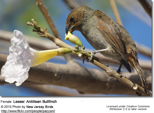 Female Greater Antillean Bullfinch, Loxigilla violacea
