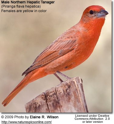 Northern Hepatic Tanager