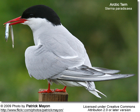 Arctic Tern with fish