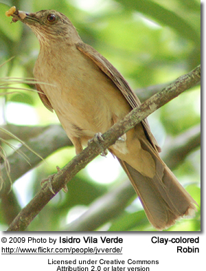 Clay-colored Robin or Clay-colored Thrush (Turdus grayi)