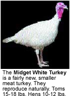 Midget White Turkey