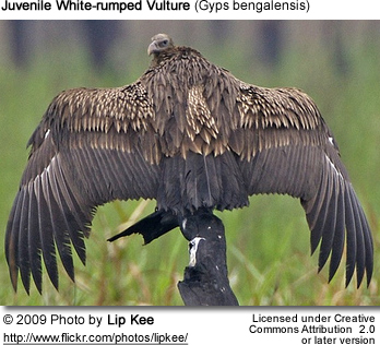 Indian White-rumped Vulture
