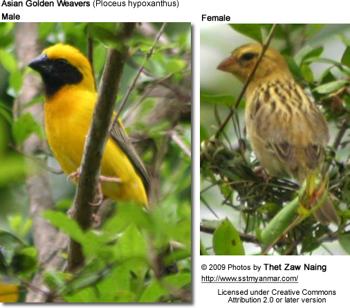 Asian Golden Weavers