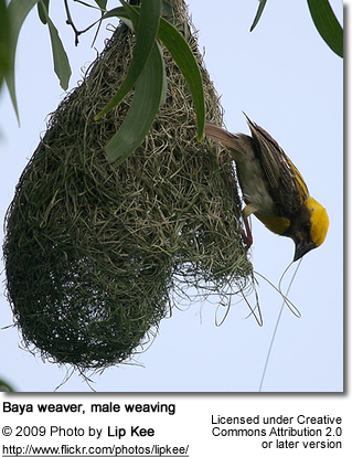 Baja Weaver Male Building Nest