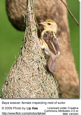 Baja Weaver inspecting nest of suitor