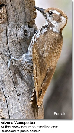 Female Arizona Woodpecker
