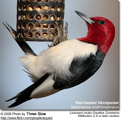 Gt Effective Methods For Attracting Woodpeckers To Your Backyard