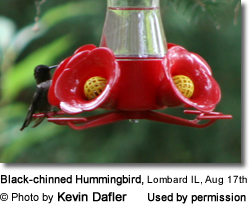 Black-chinned Hummingbird in Illinois