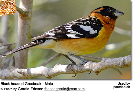 Adult Male Black-headed Grossbeak