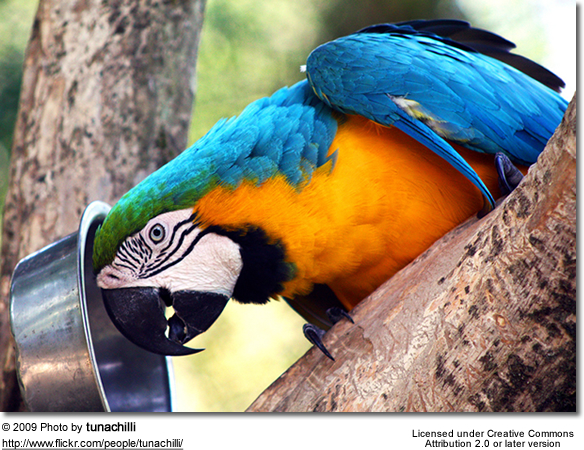 Hungry Blue & Gold Macaw, aka Blue and Yellow Macaw