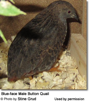 Blue-face Male Button Quail
