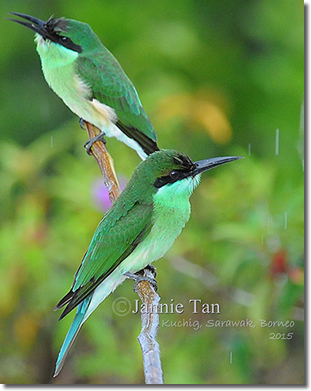 Blue-throated Bee-eater Juveniles