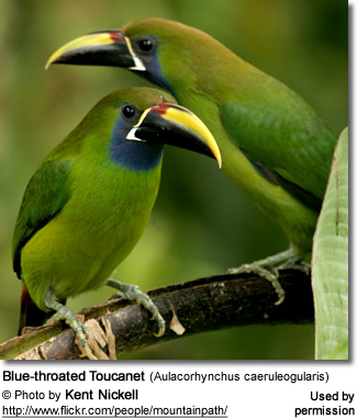 Blue-throated Toucanet (Aulacorhynchus caeruleogularis)