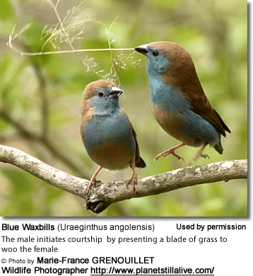 Male Blue Waxbill presents a blade of grass to the female to initiate courtship
