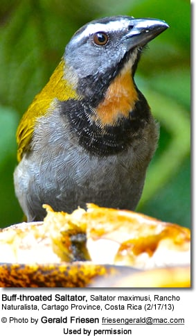 Buff-throated Saltator, Saltator maximus,