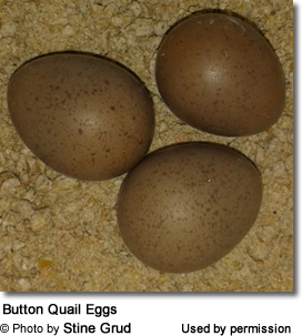 Button Quail Eggs