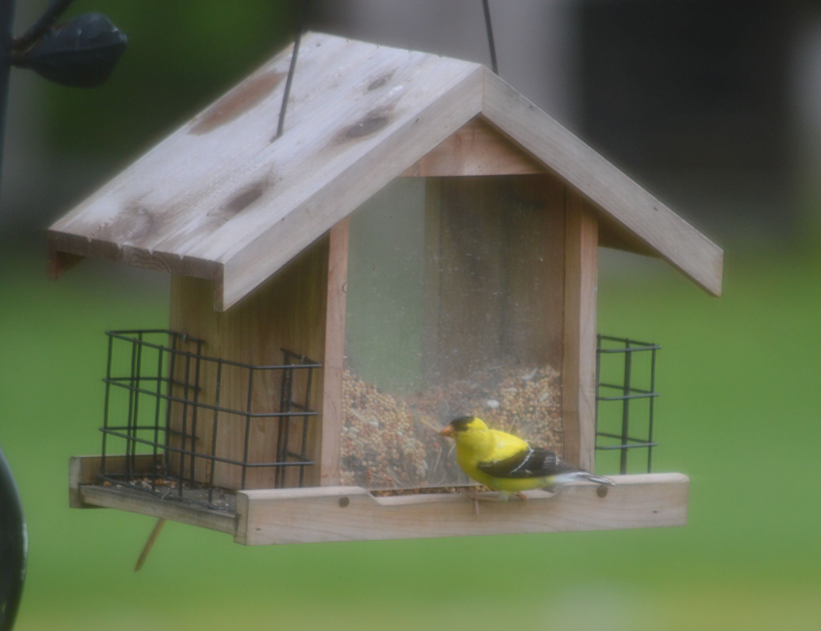 Beautiful American Goldfinch at Birdfeeder