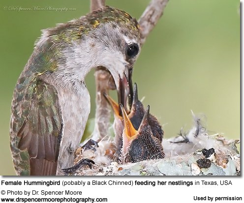 Black-chinned Hummingbird Feeding Nestlings