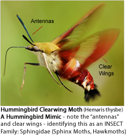 Hummingbird Clearwing Moth (Hemaris thysbe) - a Hummingbird Mimic