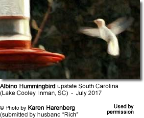 White Hummingbird in South Carolina